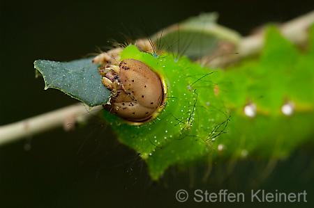 schmetterling butterfly 282 eichen seidenspinner raupe anthrea pernyi kleinert naturfoto. Black Bedroom Furniture Sets. Home Design Ideas